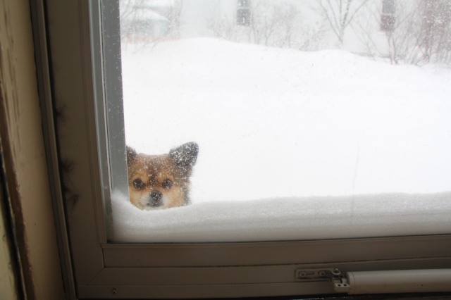 This chihuahua has had enough snow for a lifetime of winters